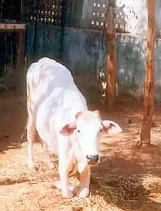 Lakshmi, the disabled cow