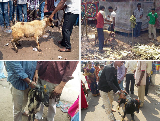 essays on animal sacrifice View ritual animal sacrifice research papers on academiaedu for free.