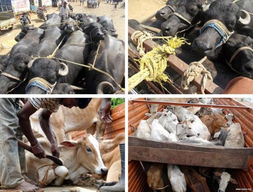 Illegal Animal Transport Vspca Andhra Pradesh India