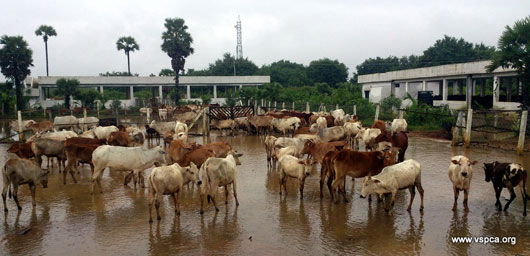 Cows at our flooded shelter