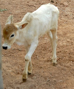one of our calfs rescued from wretched conditions