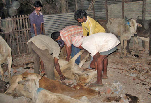 Helping a weakened cow
