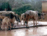 Emaciated cattle