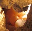 Sea turtle eggs