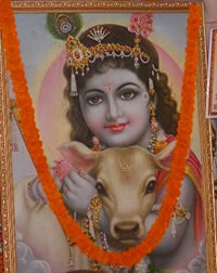 close-up of picture at VSPCA booth -  Krishna and beloved cow