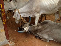 Cattle subsequently rescued by VSPCA.