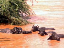 Buffalo in the flood water