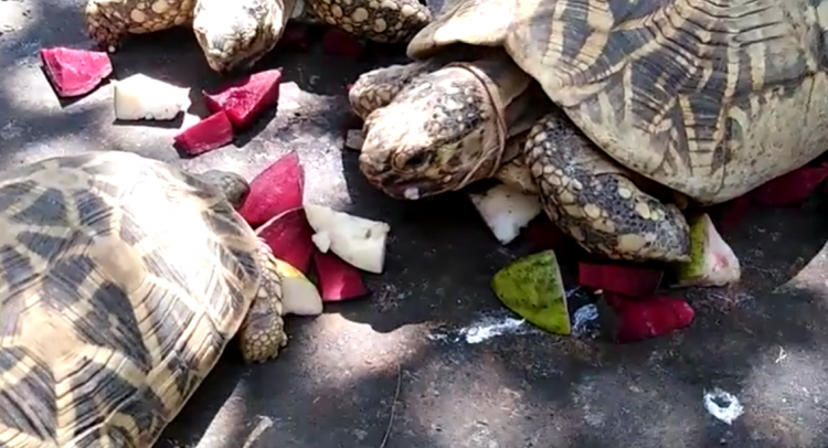 Star tortoises rescue during corona crisis