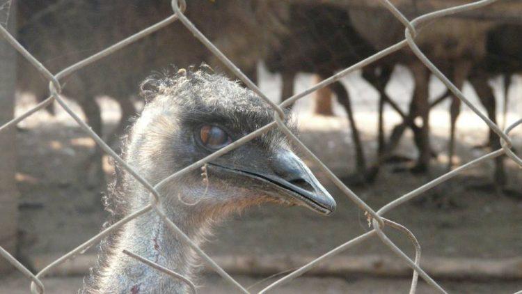 Cruel use of Urban-Wild animals and Emu rescues