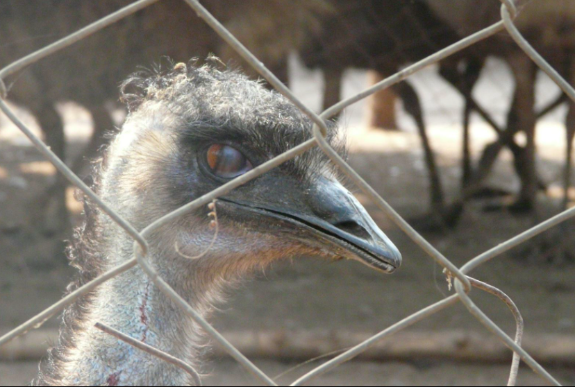 Rescuing Emus- Second largest birds in the world!