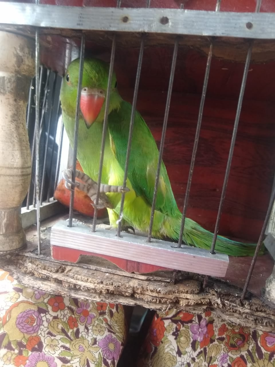 """Rescuing parrot from fake """"astrologer!"""""""